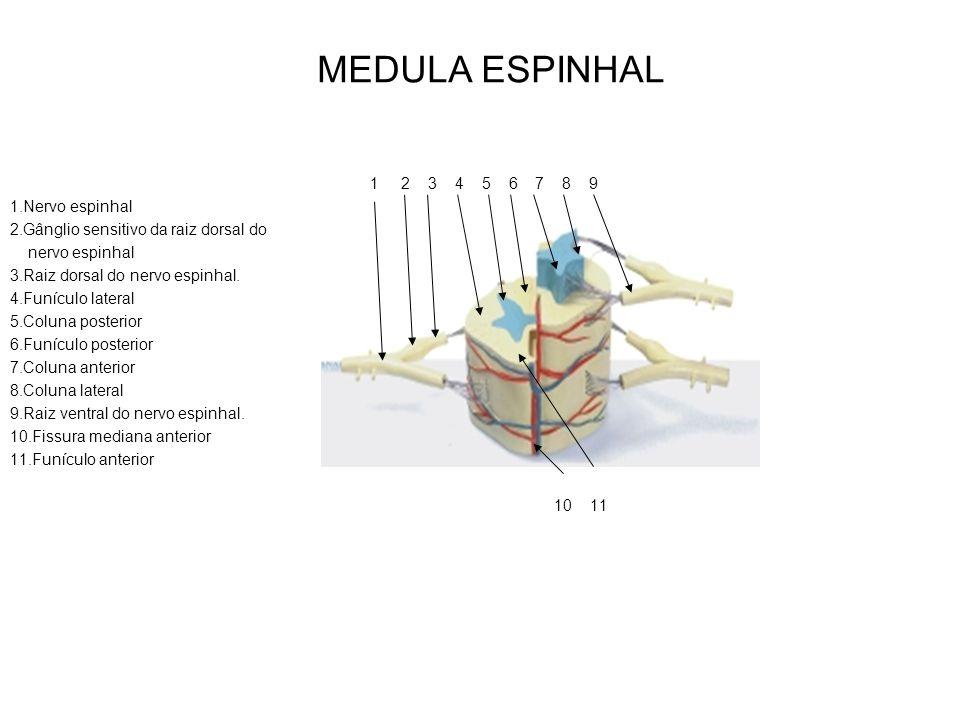 1 2 3 4 5 6 7 8 9 1.Nervo espinhal 2.Gânglio sensitivo da raiz dorsal do nervo espinhal 3.Raiz dorsal do nervo espinhal. 4.Funículo lateral 5.Coluna p