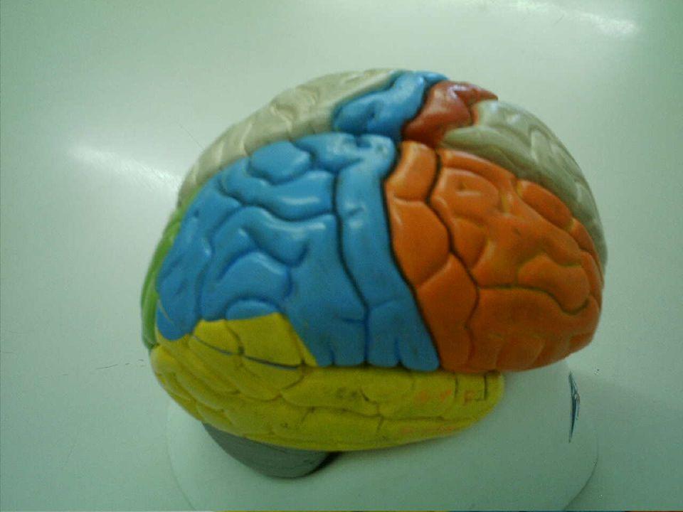 Lobos cerebrais 1 2 3 4 1.L.parietal 2.L.frontal 3.L.Occipital 4.L.Temporal