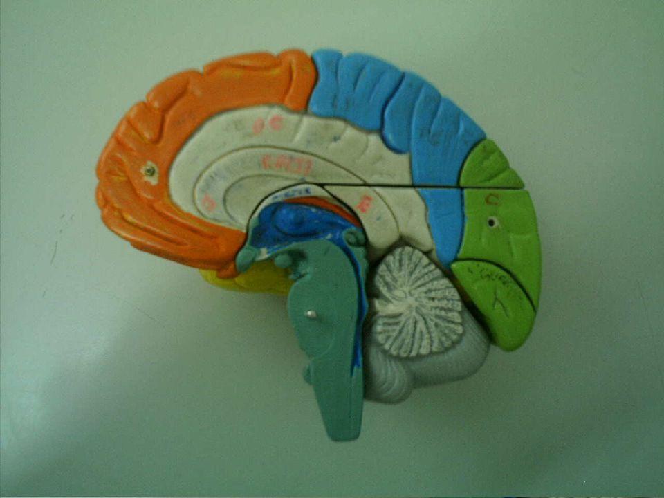 1 2 3 4 1. Endoneuro 2. Fibra nervosa 3. Perineuro 4. Epineuro Segmento de um nervo qualquer