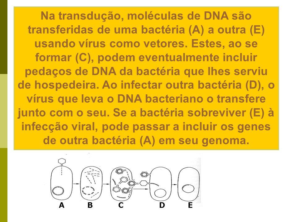 Bactérias em Conjugação Transferência de material genético entre dois bacilos presos temporariamente por uma ponte citoplasmática. Fotomicrografia ele