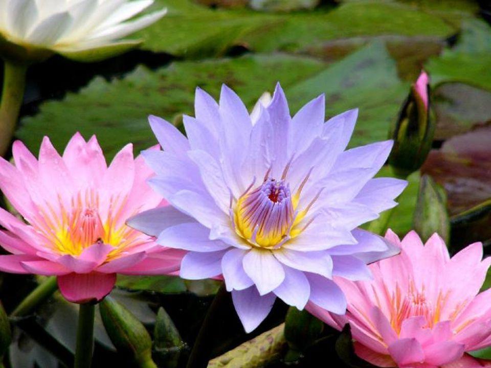 A flor de lótus nasce num local imundo, cercada de lama e mau cheiro… no entanto, floresce da forma mais espetacular que existe, completamente pura, s