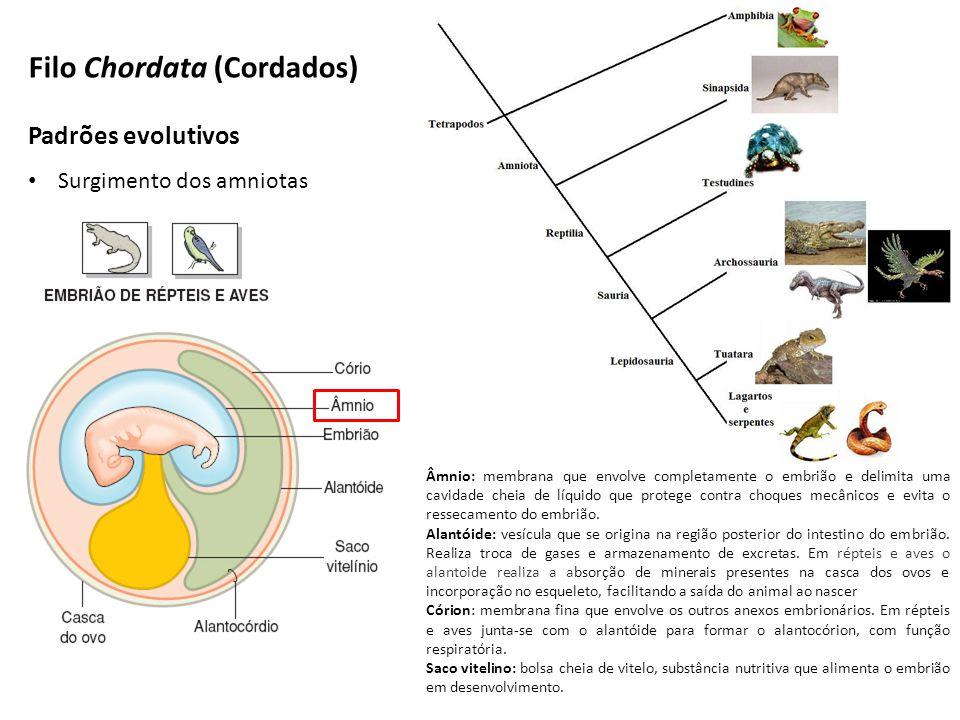 Padrões evolutivos Surgimento dos amniotas Filo Chordata (Cordados) Âmnio: membrana que envolve completamente o embrião e delimita uma cavidade cheia