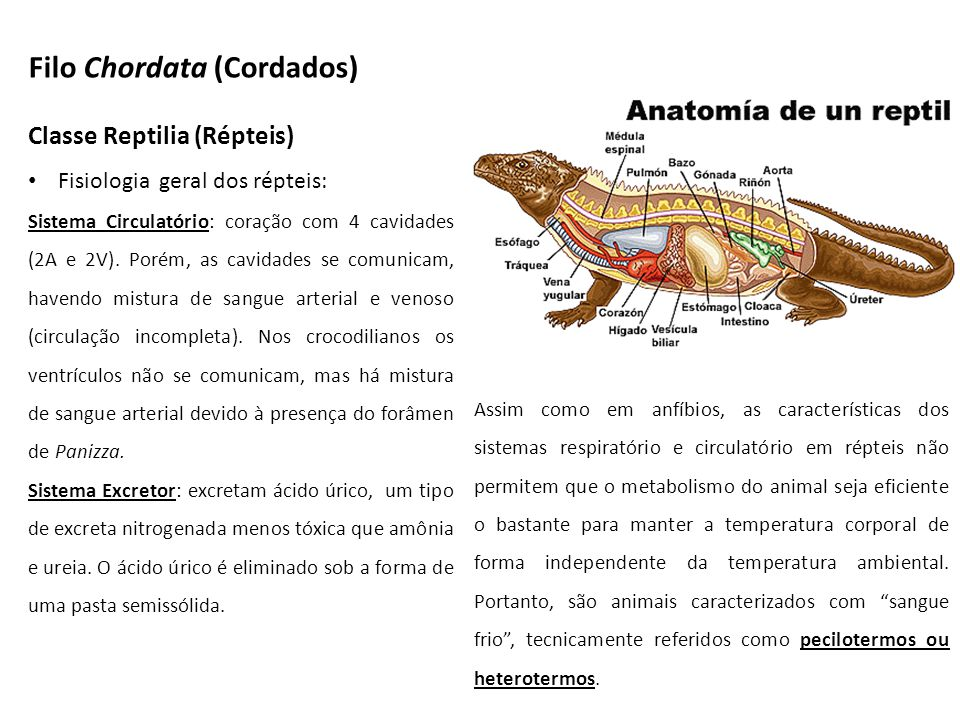 Classe Reptilia (Répteis) Fisiologia geral dos répteis: Sistema Circulatório: coração com 4 cavidades (2A e 2V). Porém, as cavidades se comunicam, hav