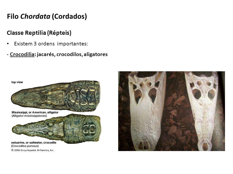 Classe Reptilia (Répteis) Existem 3 ordens importantes: - Crocodilia: jacarés, crocodilos, aligatores Filo Chordata (Cordados)