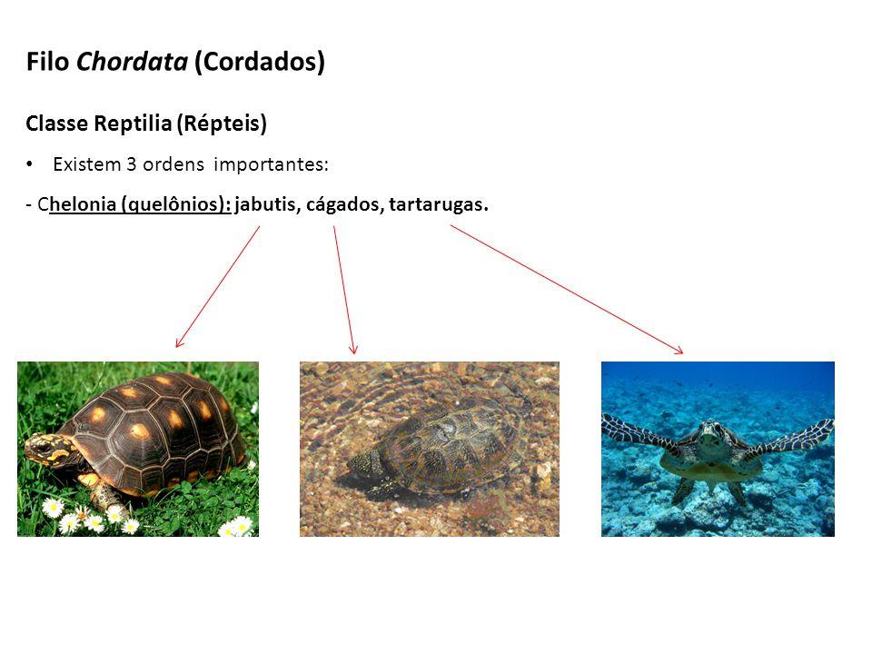 Classe Reptilia (Répteis) Existem 3 ordens importantes: - Chelonia (quelônios): jabutis, cágados, tartarugas. Filo Chordata (Cordados)
