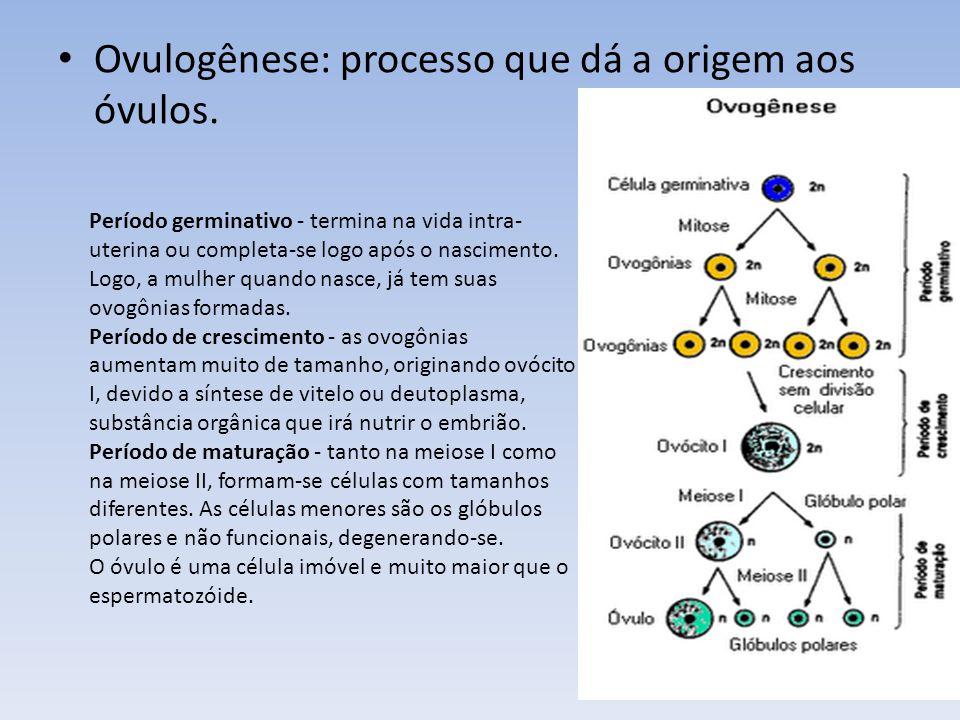 Ovulogênese: processo que dá a origem aos óvulos. Período germinativo - termina na vida intra- uterina ou completa-se logo após o nascimento. Logo, a