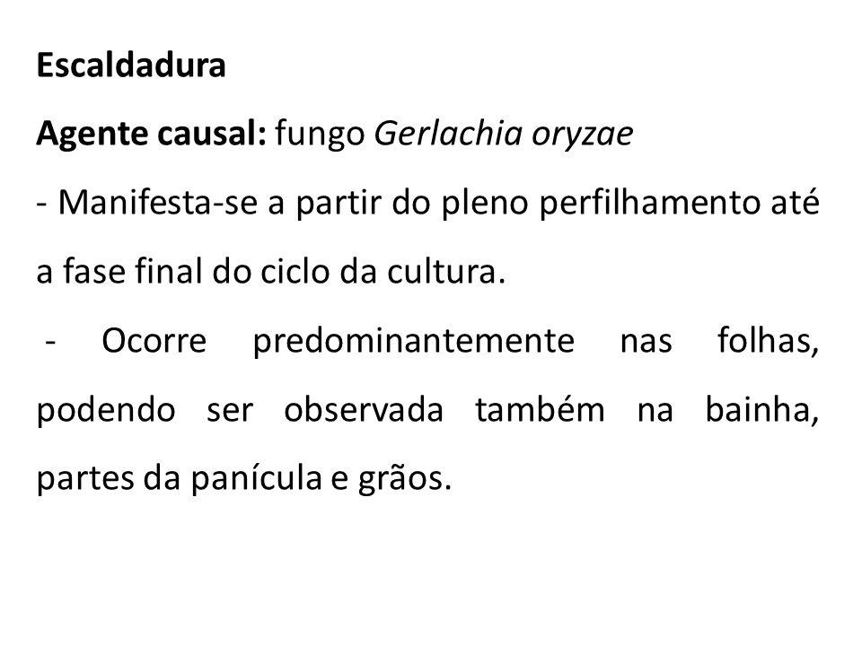 Escaldadura Agente causal: fungo Gerlachia oryzae - Manifesta-se a partir do pleno perfilhamento até a fase final do ciclo da cultura. - Ocorre predom