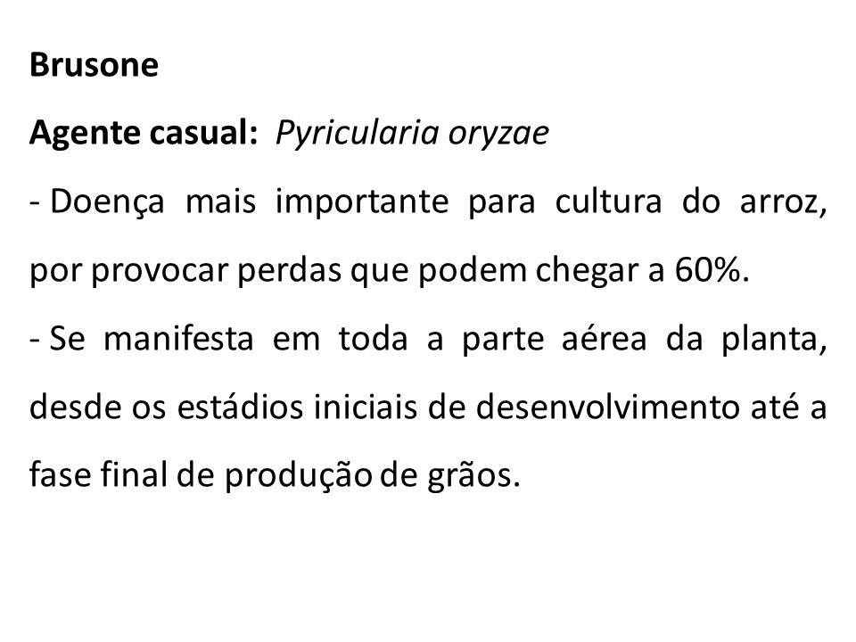 Brusone Agente casual: Pyricularia oryzae - Doença mais importante para cultura do arroz, por provocar perdas que podem chegar a 60%. - Se manifesta e