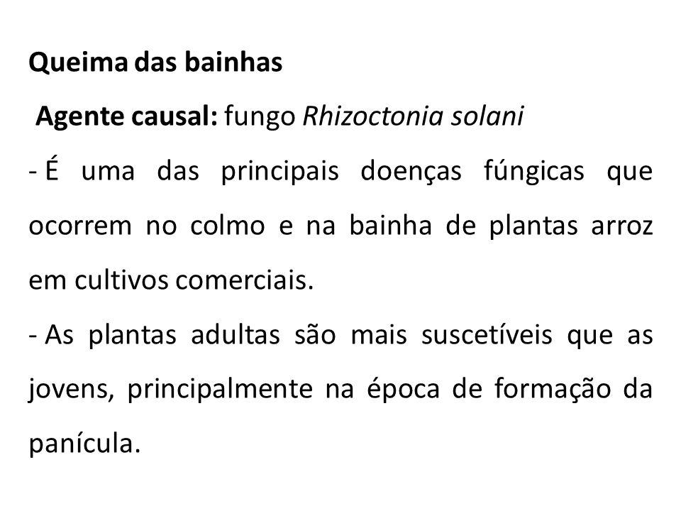 Queima das bainhas Agente causal: fungo Rhizoctonia solani - É uma das principais doenças fúngicas que ocorrem no colmo e na bainha de plantas arroz e
