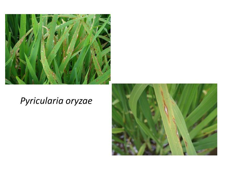 Sintomas - Lesões lineares de cor marrom nas folhas, podendo ocorrer também na bainha, no pedicelo e nas glumas.