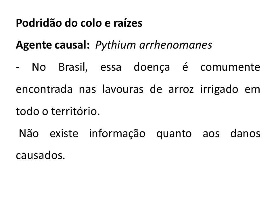 Podridão do colo e raízes Agente causal: Pythium arrhenomanes - No Brasil, essa doença é comumente encontrada nas lavouras de arroz irrigado em todo o