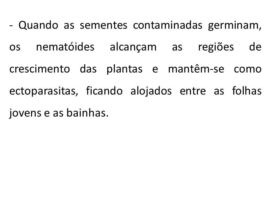 - Quando as sementes contaminadas germinam, os nematóides alcançam as regiões de crescimento das plantas e mantêm-se como ectoparasitas, ficando aloja