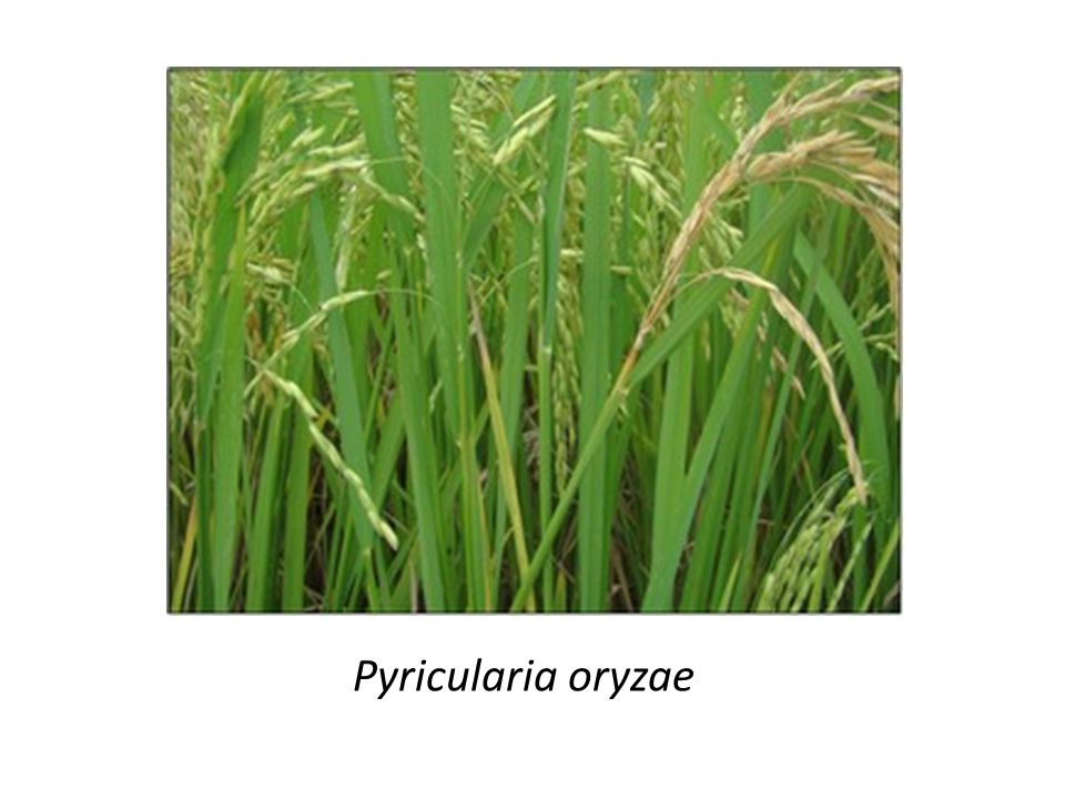 - Quando a panícula é infectada tardiamente, há um enchimento parcial dos grãos, e em alguns casos, por causa de seu peso, ocorre a quebra da base da panícula.