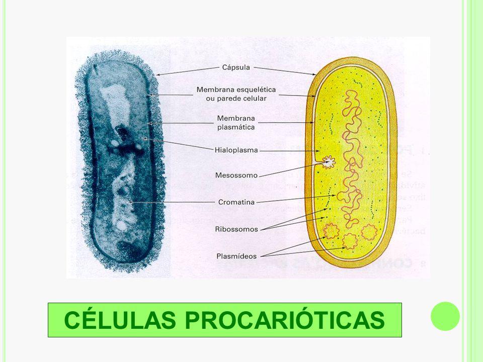 Hipótese simbiótica da origem de mitocôndrias e cloroplastos Célula procariótica inicial Célula eucariótica fotossintetizante: alguns protistas e plantas Célula eucariótica não- fotossintetizante: alguns protistas, os fungos e os animais Bactéria aeróbica em simbiose mutualística Bactéria aeróbica dá origem à mitocôndria Carioteca Cianobactéria Invaginações da membrana plasmática Cianobactéria dá origem ao cloroplasto Bactérias aeróbicas Ácido nucléico