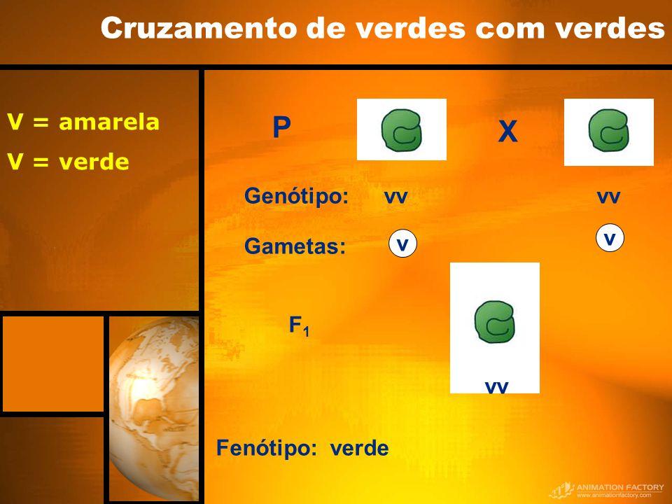X P F1F1 vv Genótipo: Gametas: v v Fenótipo: verde Cruzamento de verdes com verdes V = amarela V = verde