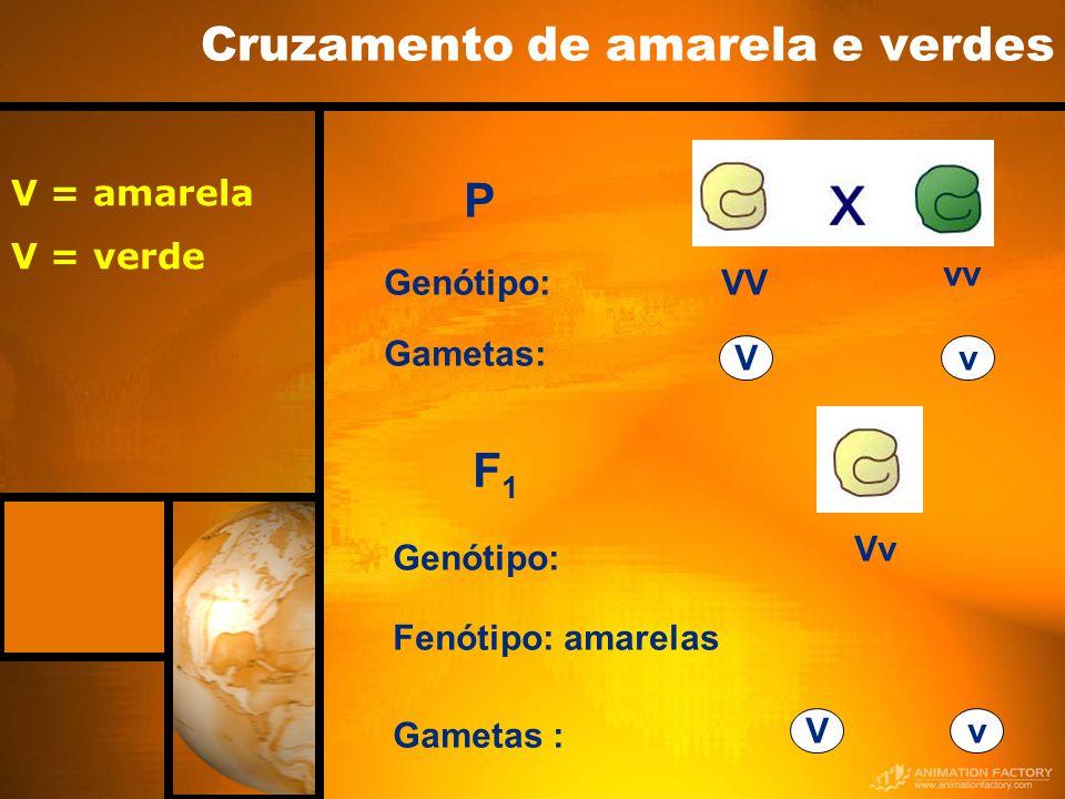 Cruzamento de amarela e verdes P F1F1 VV vv Genótipo: Gametas: Vv Vv Genótipo: Fenótipo: amarelas Gametas : Vv V = amarela V = verde