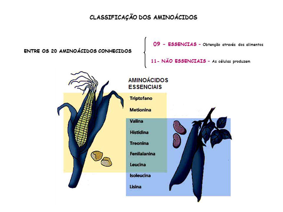 CLASSIFICAÇÃO DOS AMINOÁCIDOS ENTRE OS 20 AMINOÁCIDOS CONHECIDOS 09 - ESSENCIAS – Obtenção através dos alimentos 11- NÃO ESSENCIAIS – As células produzem