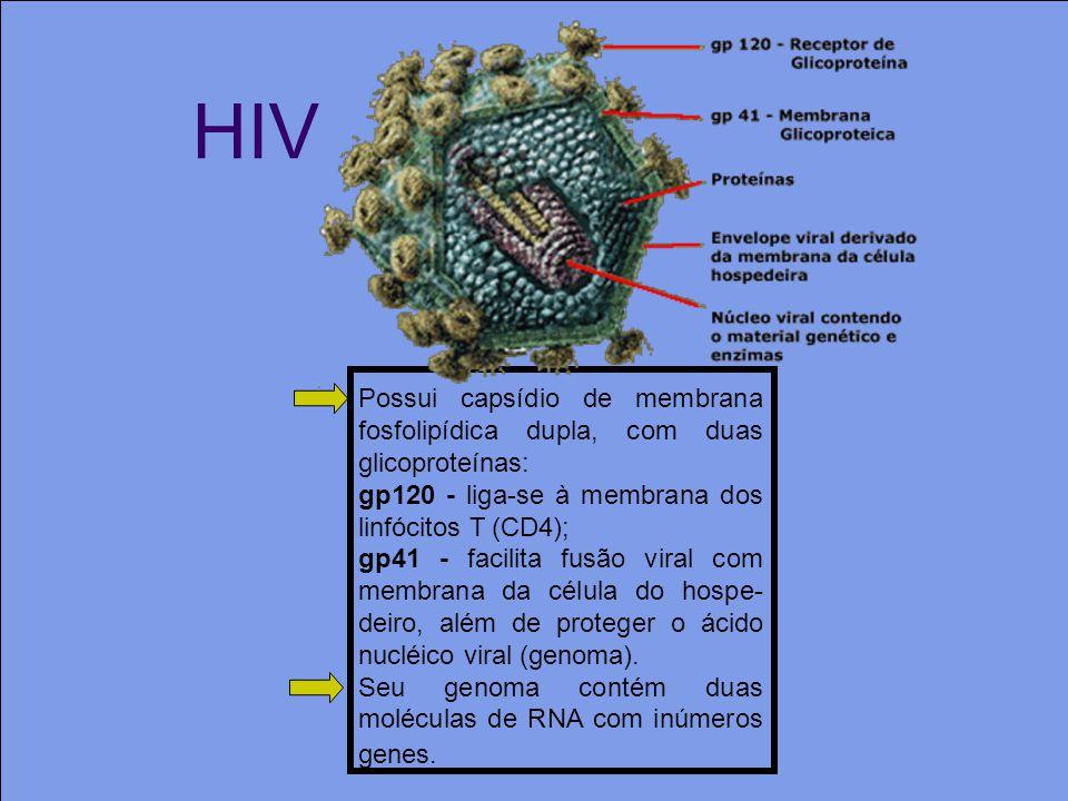 HIV Possui capsídio de membrana fosfolipídica dupla, com duas glicoproteínas: gp120 - liga-se à membrana dos linfócitos T (CD4); gp41 - facilita fusão viral com membrana da célula do hospe- deiro, além de proteger o ácido nucléico viral (genoma).