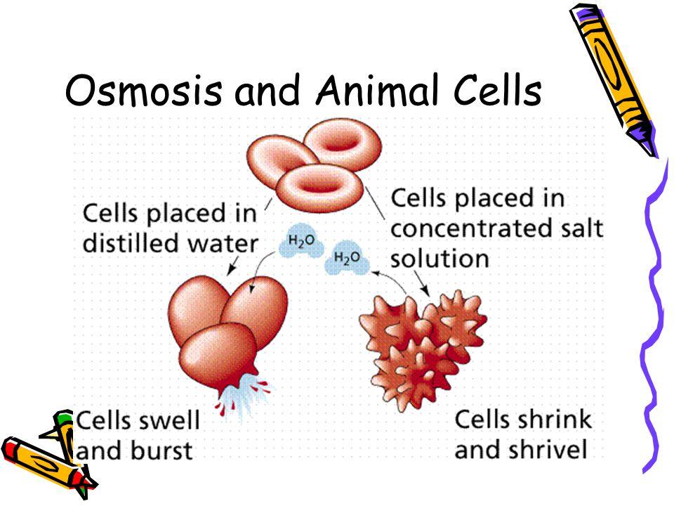 Osmosis and Animal Cells