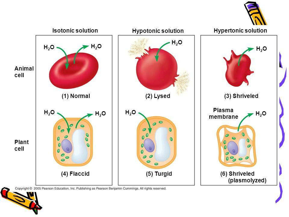 Isotonic solution Hypotonic solution Hypertonic solution H2OH2O H2OH2O (1) Normal (2) Lysed H2OH2O H2OH2O H2OH2O H2OH2O Animal cell Plant cell (4) Flaccid(5) Turgid(6) Shriveled (plasmolyzed) (3) Shriveled Plasma membrane H2OH2O H2OH2O