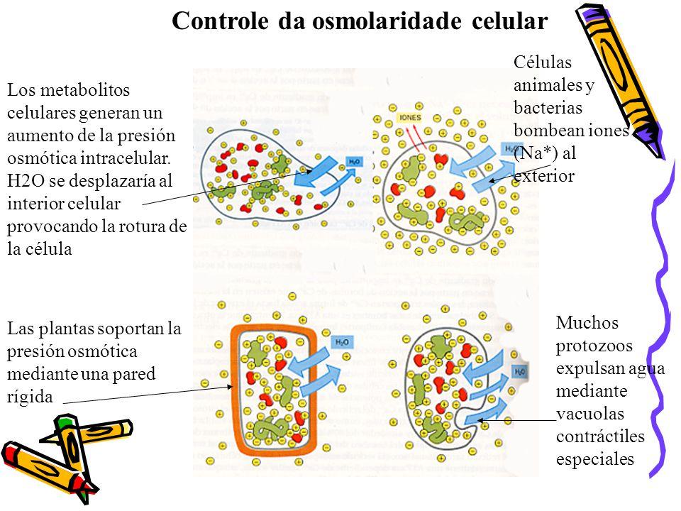 Controle da osmolaridade celular Los metabolitos celulares generan un aumento de la presión osmótica intracelular.