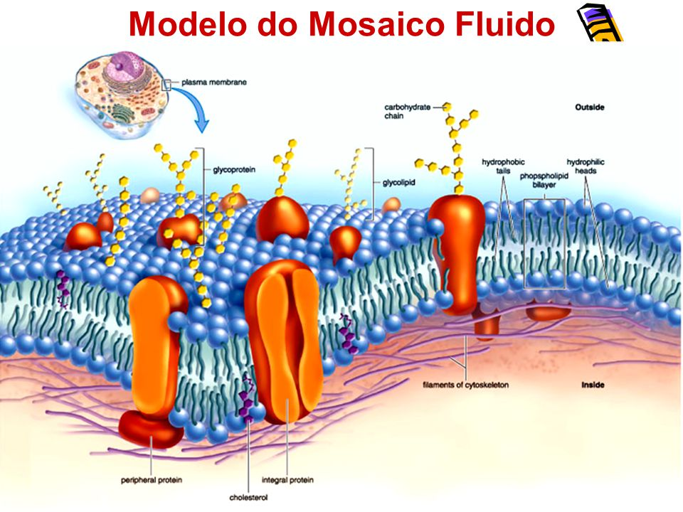 Envoltórios Celulares Membrana Membrana plasmática- encontrada em todas as células.