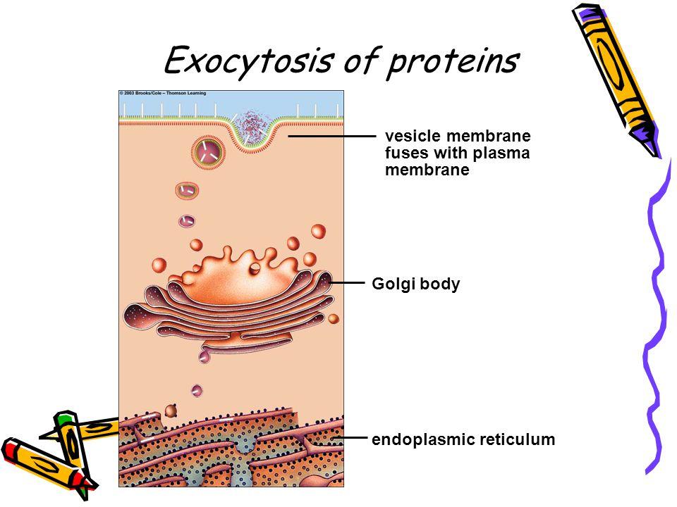 endoplasmic reticulum Golgi body vesicle membrane fuses with plasma membrane Exocytosis of proteins