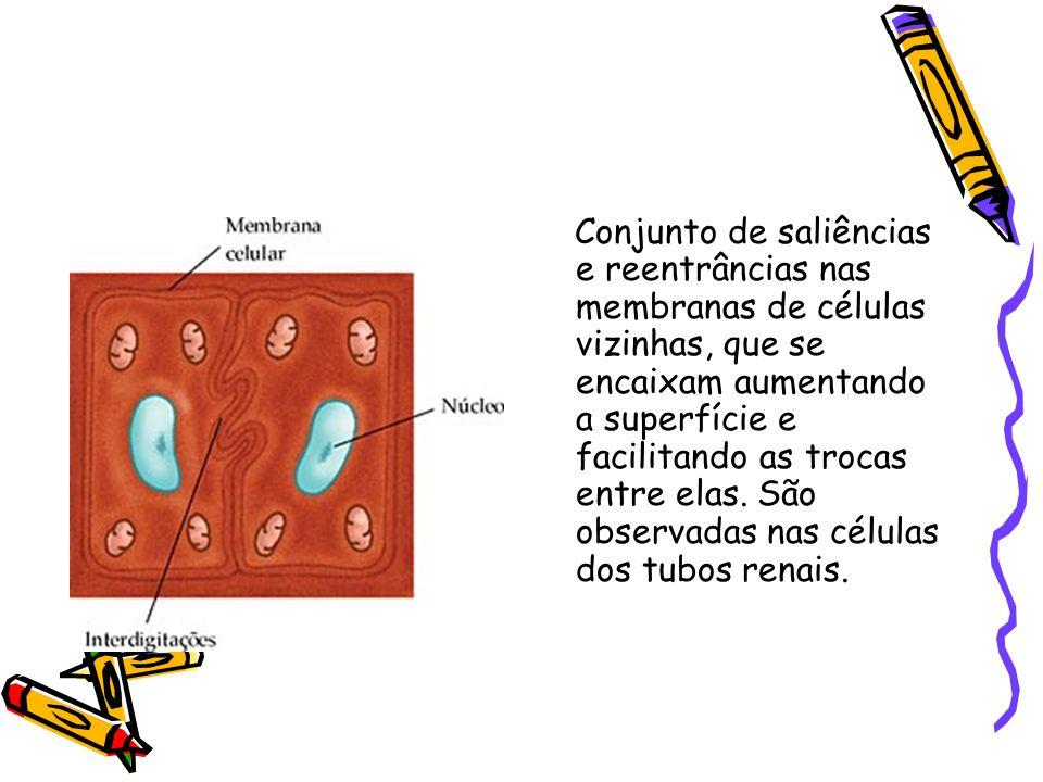 INTERDIGITAÇÕES Conjunto de saliências e reentrâncias nas membranas de células vizinhas, que se encaixam aumentando a superfície e facilitando as trocas entre elas.