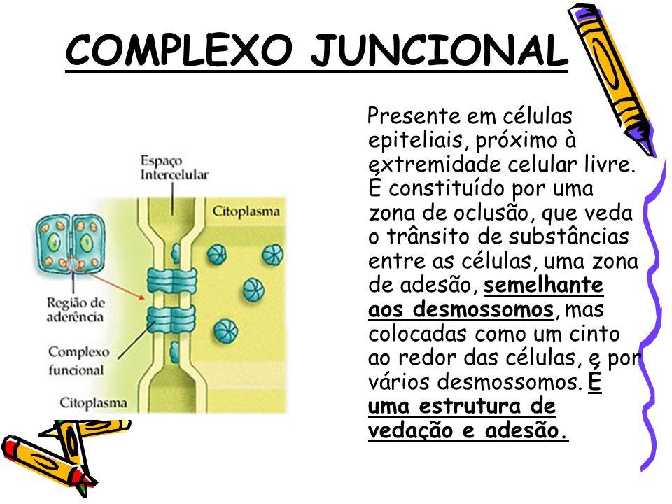 COMPLEXO JUNCIONAL Presente em células epiteliais, próximo à extremidade celular livre.