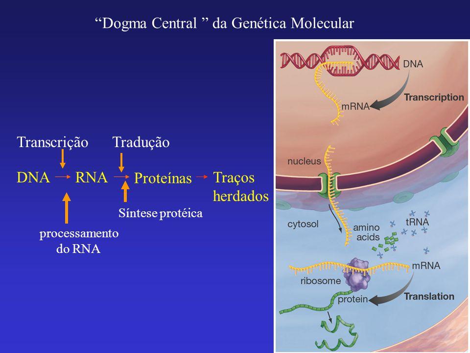 Transcrição: fazer cópias de RNA a partir de segmentos do DNA (genes).