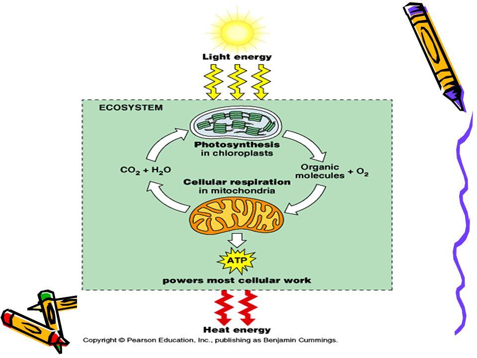 Respiração Celular Todos os seres vivos precisam de energia na forma de… Alimento = Energia química Energia celular= ATP