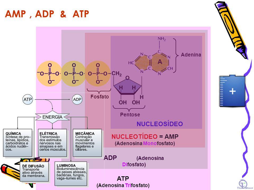 ATP, a moeda energética A B ADP + Pi ATP Reação endotérmica Reação exotérmica C D e Calor e REAÇÕES ACOPLADAS Reação exotérmica Reação endotérmica