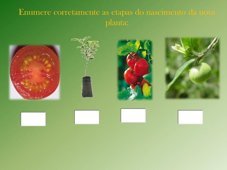 Enumere corretamente as etapas do nascimento da nova planta: