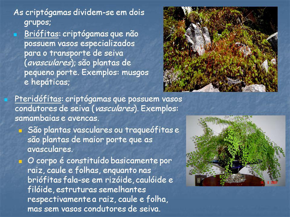 As criptógamas dividem-se em dois grupos; Briófitas: criptógamas que não possuem vasos especializados para o transporte de seiva (avasculares); são plantas de pequeno porte.