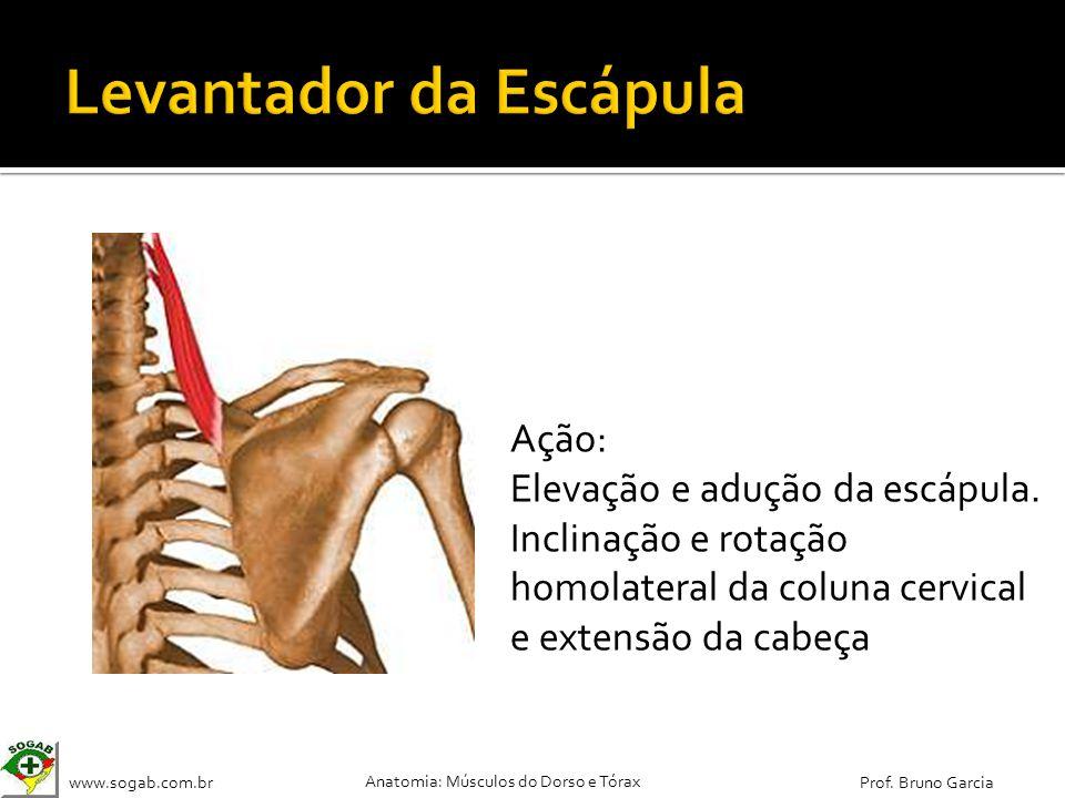www.sogab.com.br Anatomia: Músculos do Dorso e Tórax Prof. Bruno Garcia Ação: Elevação e adução da escápula. Inclinação e rotação homolateral da colun