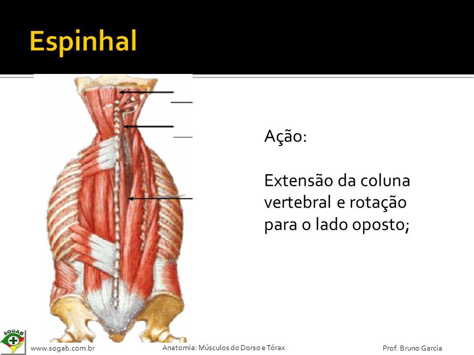 www.sogab.com.br Anatomia: Músculos do Dorso e Tórax Prof. Bruno Garcia Ação: Extensão da coluna vertebral e rotação para o lado oposto;