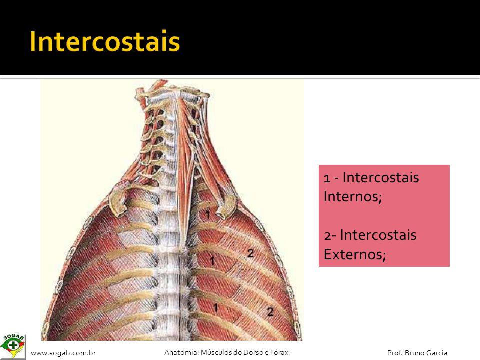 www.sogab.com.br Anatomia: Músculos do Dorso e Tórax Prof. Bruno Garcia 1 - Intercostais Internos; 2- Intercostais Externos;