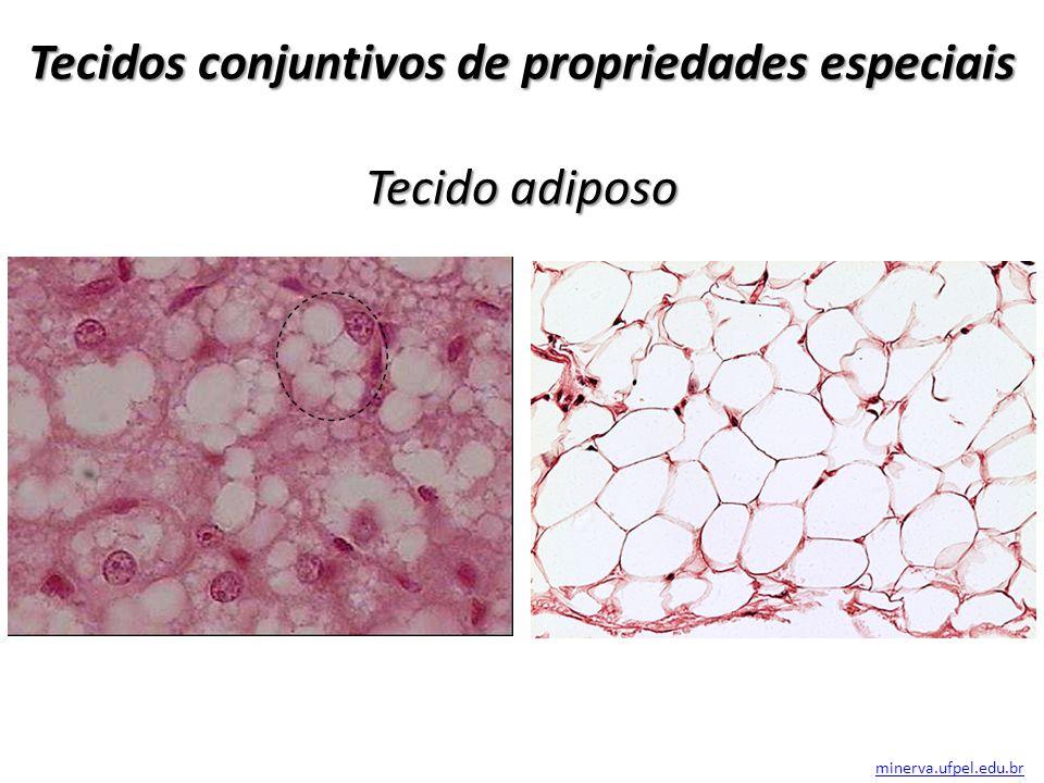 Tecidos conjuntivos de propriedades especiais Tecido adiposo minerva.ufpel.edu.br