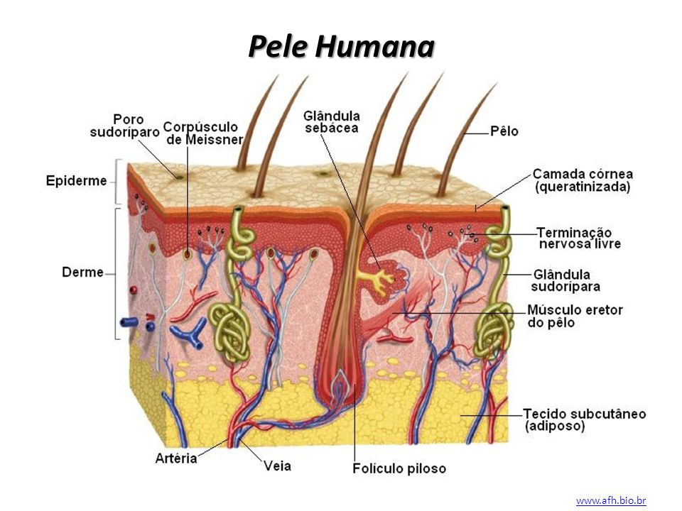 Pele Humana www.afh.bio.br