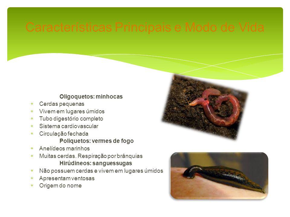 Oligoquetos: minhocas Cerdas pequenas Vivem em lugares úmidos Tubo digestório completo Sistema cardiovascular Circulação fechada Poliquetos: vermes de fogo Anelídeos marinhos Muitas cerdas.