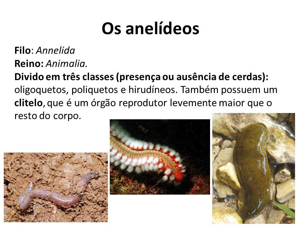 Os anelídeos Filo: Annelida Reino: Animalia. Divido em três classes (presença ou ausência de cerdas): oligoquetos, poliquetos e hirudíneos. Também pos