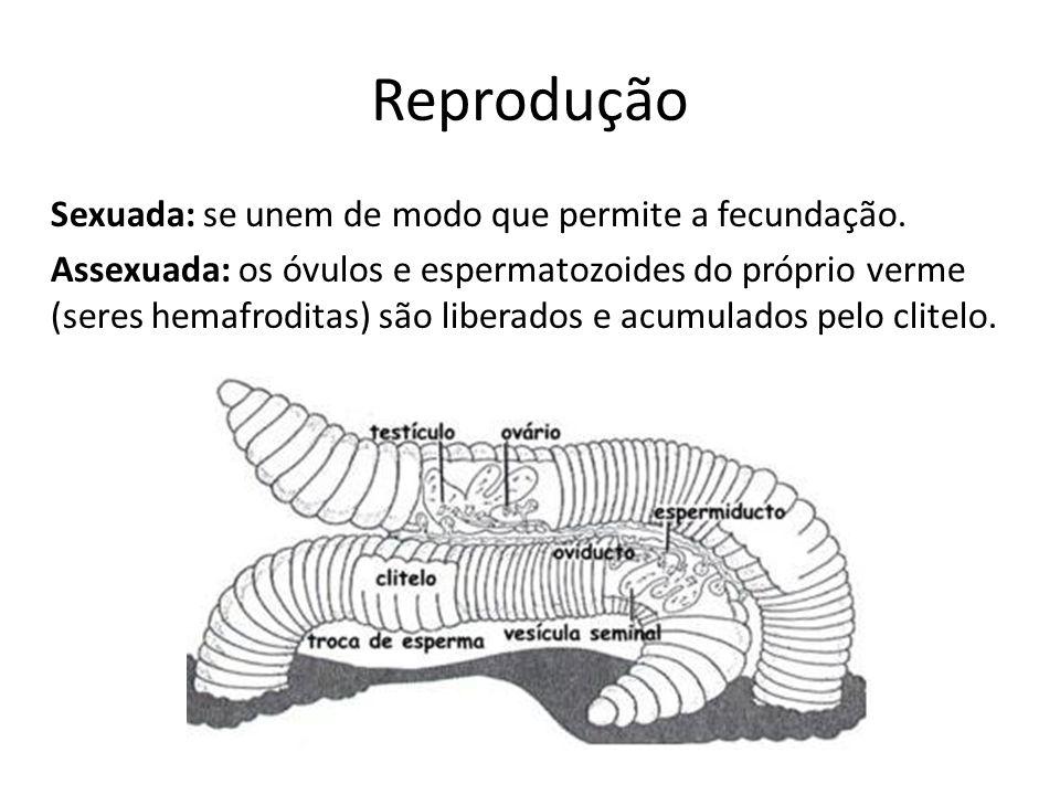 Reprodução Sexuada: se unem de modo que permite a fecundação. Assexuada: os óvulos e espermatozoides do próprio verme (seres hemafroditas) são liberad