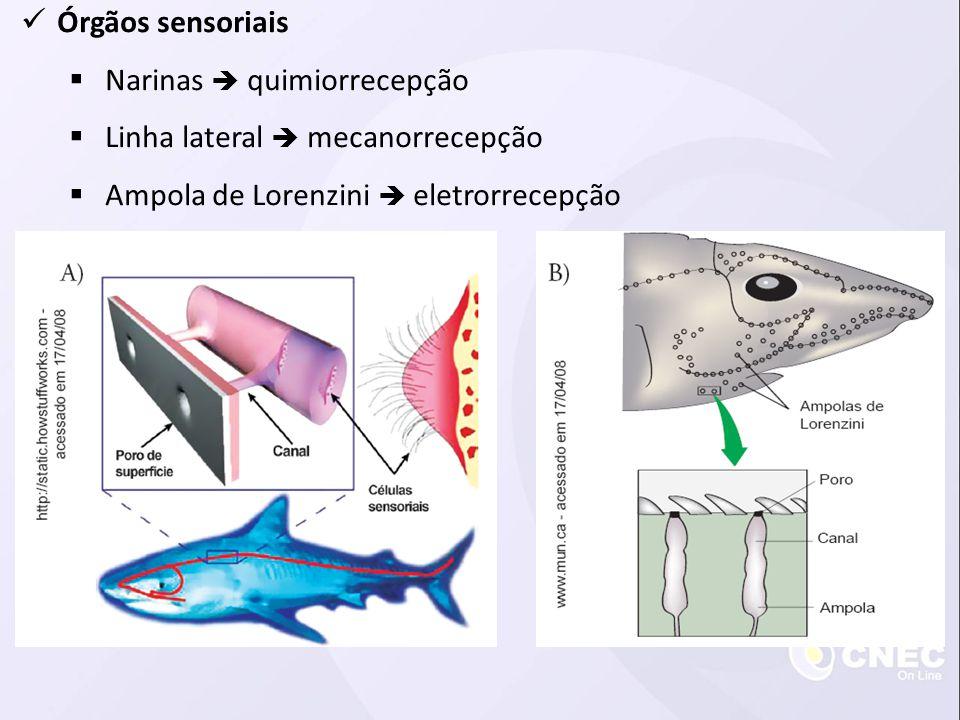 Órgãos sensoriais Narinas quimiorrecepção Linha lateral mecanorrecepção Ampola de Lorenzini eletrorrecepção