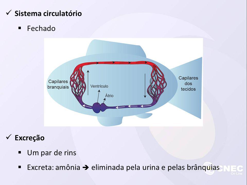 Sistema circulatório Fechado Excreção Um par de rins Excreta: amônia eliminada pela urina e pelas brânquias