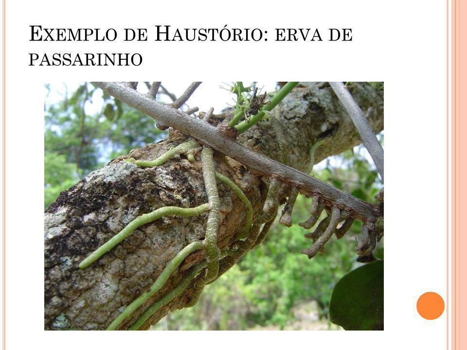 E XEMPLO DE H AUSTÓRIO : ERVA DE PASSARINHO