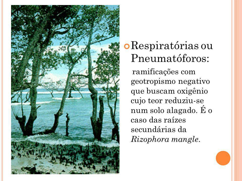 Respiratórias ou Pneumatóforos: ramificações com geotropismo negativo que buscam oxigênio cujo teor reduziu-se num solo alagado. É o caso das raízes s