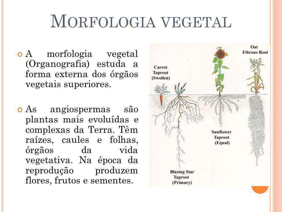 M ORFOLOGIA VEGETAL A morfologia vegetal (Organografia) estuda a forma externa dos órgãos vegetais superiores. As angiospermas são plantas mais evoluí