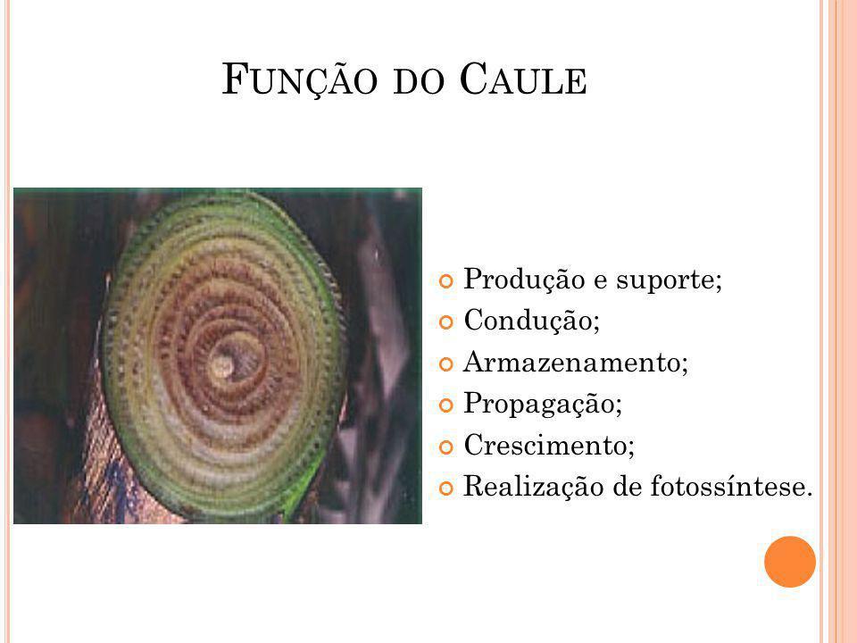 F UNÇÃO DO C AULE Produção e suporte; Condução; Armazenamento; Propagação; Crescimento; Realização de fotossíntese.