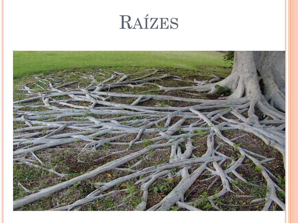 Absorver e conduzir água e minerais dissolvidos; Acumular nutrientes e fixar a planta ao solo; Diferencia-se do caule por sua estrutura, pelo modo como se forma e pela falta de apêndices, como gemas (meristemas externos) e folhas.