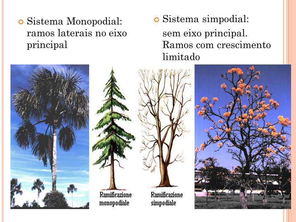 T IPOS DE RAMIFICAÇÕES : Sistema Monopodial: ramos laterais no eixo principal Sistema simpodial: sem eixo principal. Ramos com crescimento limitado